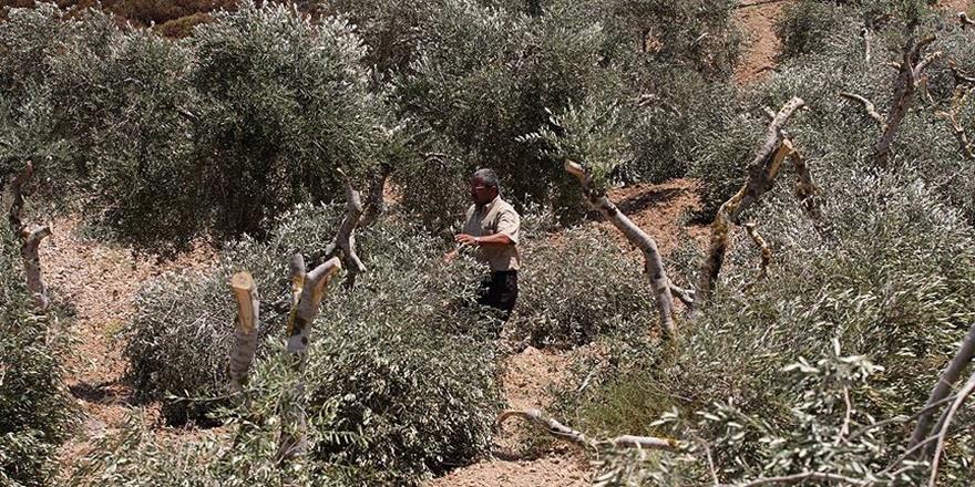 Siyonist Yerleşimciler Filistinlilerin Zeytin Ağaçlarını Kesti!