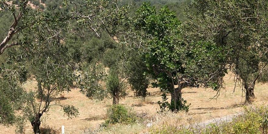 PKK/PYD Afrin'deki Çiftçilerin Ürünlerine Göz Dikti!