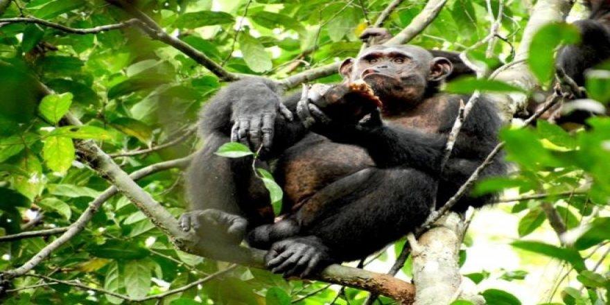 Daily Telegraph: İngiltere'de Bazı Zenginler Düğünlerde Şempanze Eti Yiyor