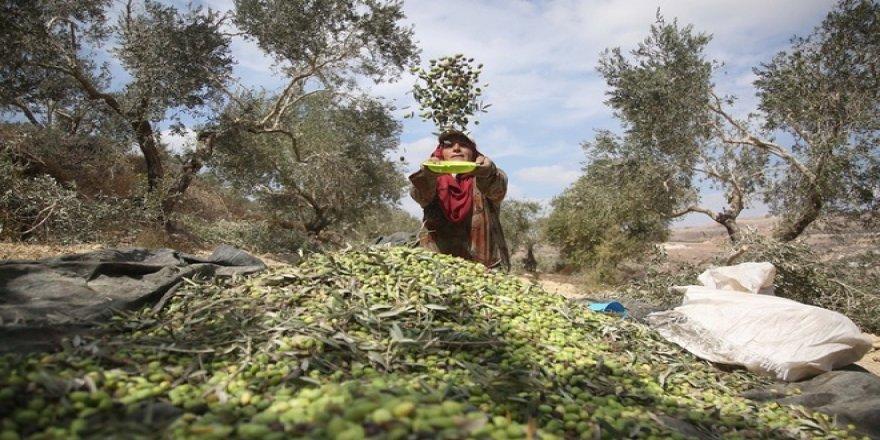 Filistin'de İşgalciler Yüzünden Hasat Erken Başlıyor