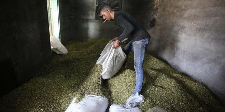 İşgalci İsrail, Filistin'in Tarım Ürünlerinin İhracatına Engel Oluyor