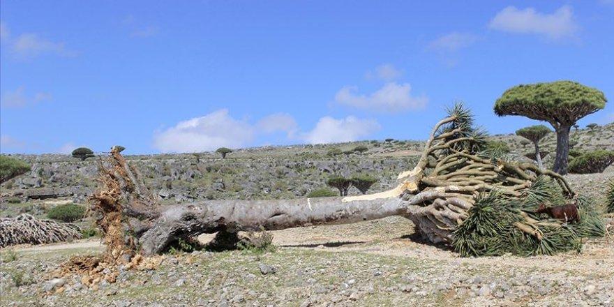 ''Sokotra'daki Ender Ağaçlar BAE'ye Kaçırılıyor''