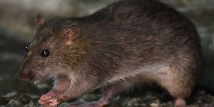 """""""İngiltere'de Koronavirüs Salgınında Sıçanlar Yavrularını Yemeye ve Evlere Girmeye Başladı"""""""