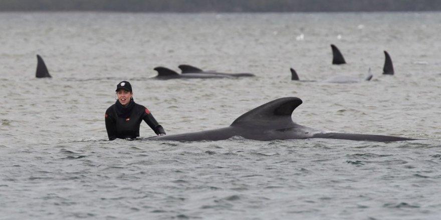 Avustralya'da sığ sularda mahsur kalan balinalardan 70'i kurtarıldı