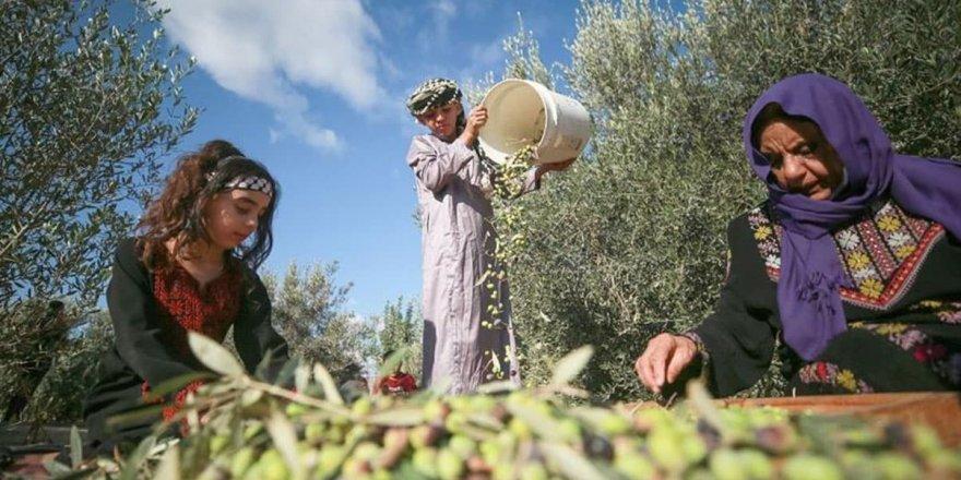 Siyonist İsrail Filistinlilerin zeytin bahçelerine girmesini engelleyen karar çıkardı