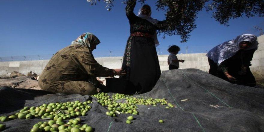 Siyonistler zeytin toplayan Filistinlilere saldırdı: 2 yaralı
