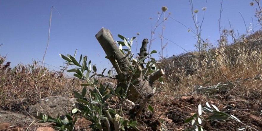 Yahudi işgalciler Filistinlilere ait onlarca zeytin ağacını kesti