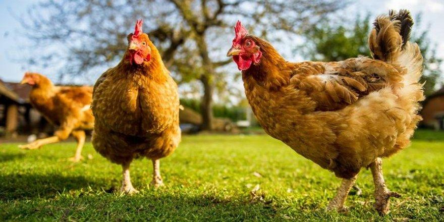 Laboratuvarda üretilen 'tavuk etinin' satışına onay verildi