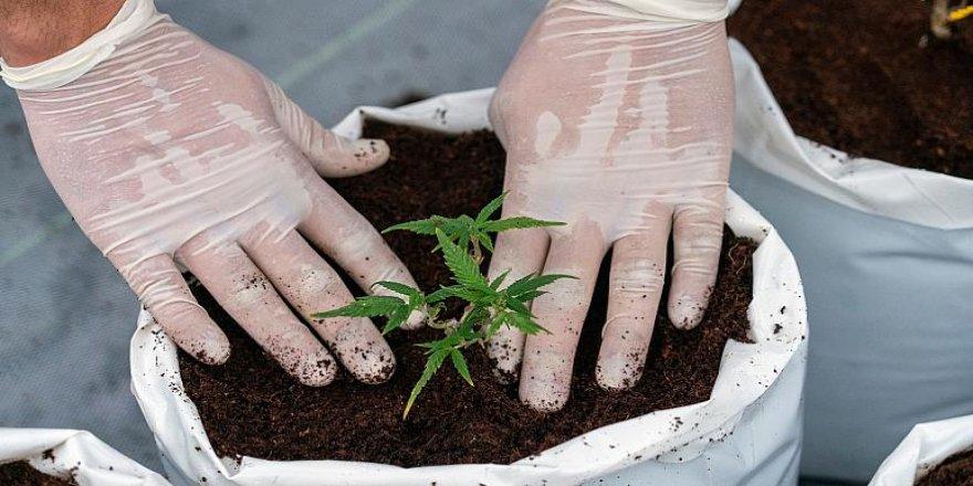 BM esrarı, eroin gibi narkotik maddeler listesinden çıkardı