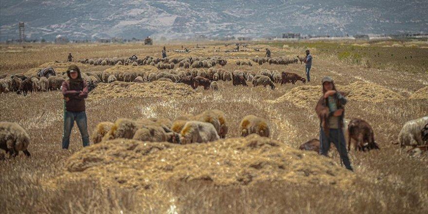 Katil Esed, İdlib halkının 'ekmek tarlasını' ateşe veriyor