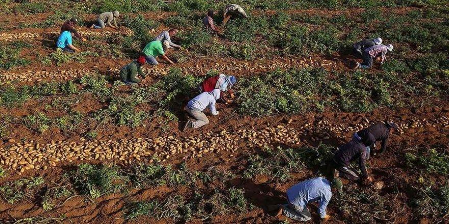 Gazzeli çiftçiler Siyonist İsrail saldırılarının ardından buruk bir hasat dönemi geçiriyor