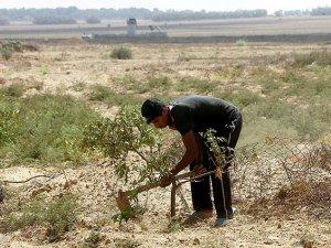İsrail Filistinlilerin Tarım Arazilerine Ateş Açtı