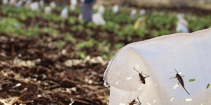 Suriyeli Çiftçiler Çekirgeler Karşısında Çaresiz!