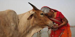 Hindistan'da 'İnek Bakanlığı' Kuruluyor