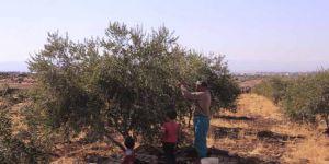 Kuşatma Altındaki Humus'ta Zeytin Hasadı