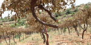 İsrailli Yerleşimciler Bir Günde 800 Üzüm Asmasını Kesti!