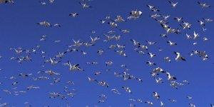Çıldır Gölü Göçmen Kuşlarla Şenlendi
