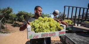 Gazze'de Üzüm Hasadı Kötü Başladı