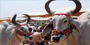 Hindistan'da Boğa 40 Gramlık Altın Takıyı Yedi