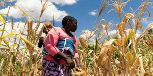 Zimbabve'de Nüfusun Yarısı Gıda Güvenliği Kriziyle Karşı Karşıya