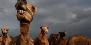 Keskin Nişancılar Hazırlandı, Avustralya'da Deve Katliamı Başlıyor