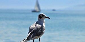 'Okyanustaki Dev Sıcak Su Kütlesi Bir Milyon Kuşun Ölümüne Neden Oldu'