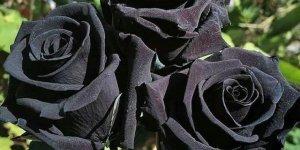 Şanlıurfa'nın Halfeti İlçesinde Yetişen Karagül Açmaya Başladı