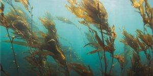 Deniz yosunu geleceğin gıdası ve yakıtı olabilir mi?