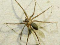 Felç Tedavisinde Örümcek Zehri Kullanılabilir